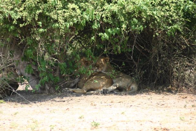 lions hiding