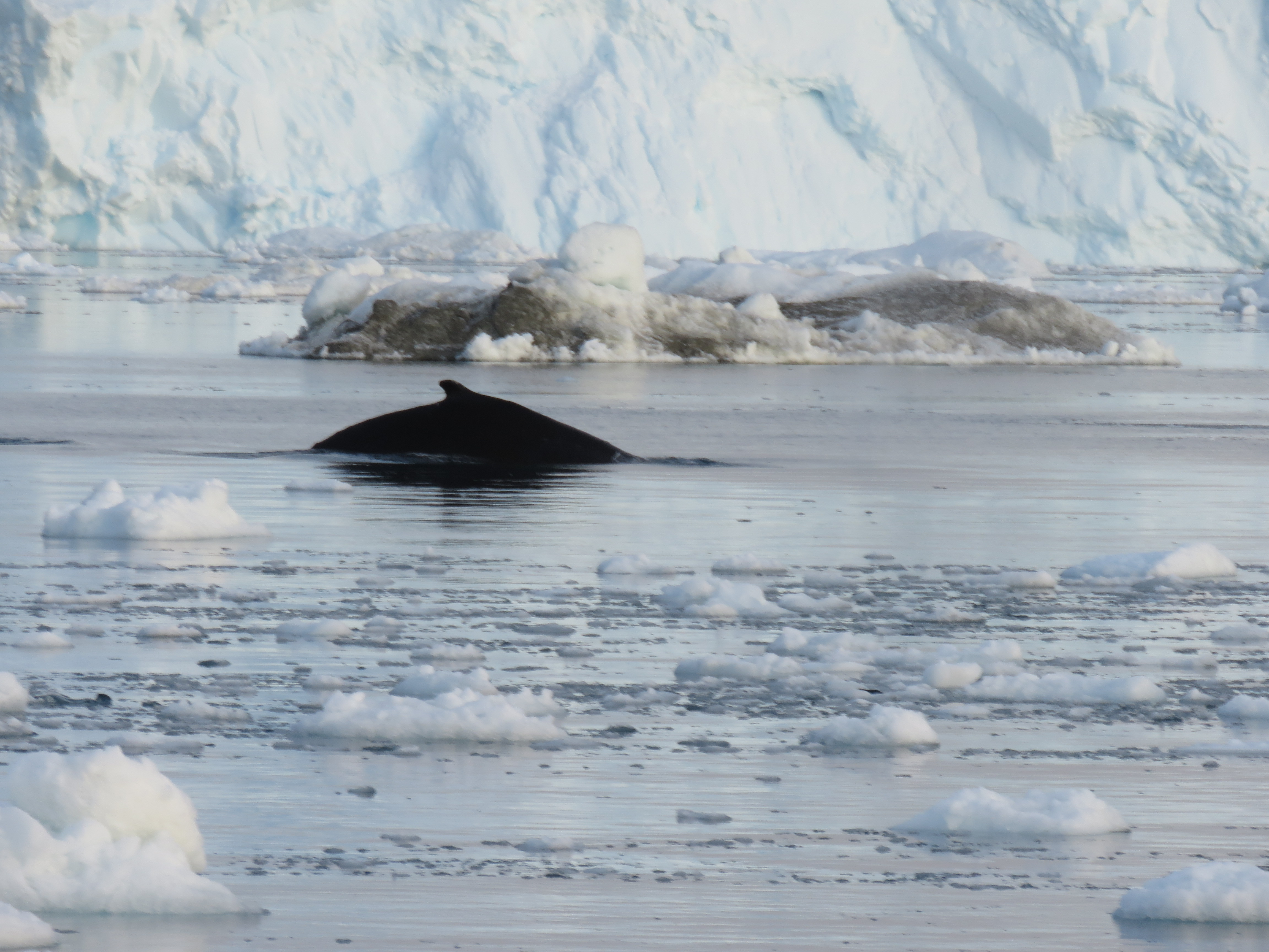 iceberg whale
