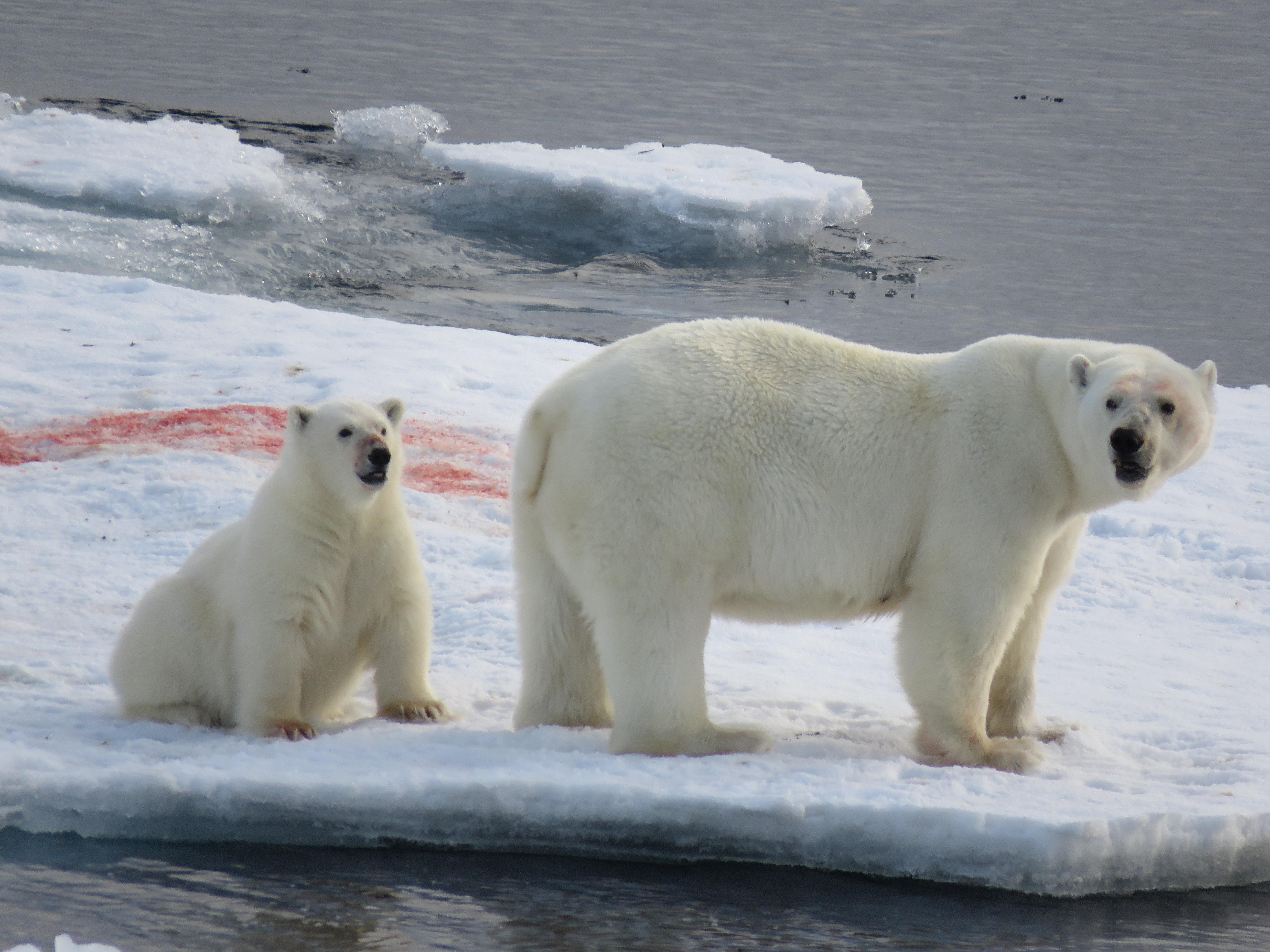 Polar bear03